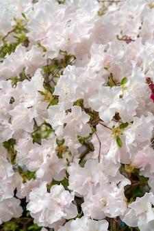 Floraison de rhododendrons blancs (azalée), gros plan, mise au point sélective, espace copie.
