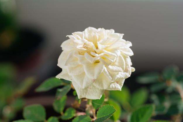 Floraison rosa kordana feuillage nature background close up sur le concept de magasin de fleurs fenêtre