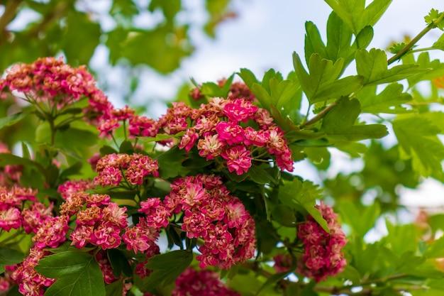 Floraison rose commune d'aubépine, fleurs roses vives sur fond de feuilles vertes. photo macro avec mise au point sélective sur les fleurs.