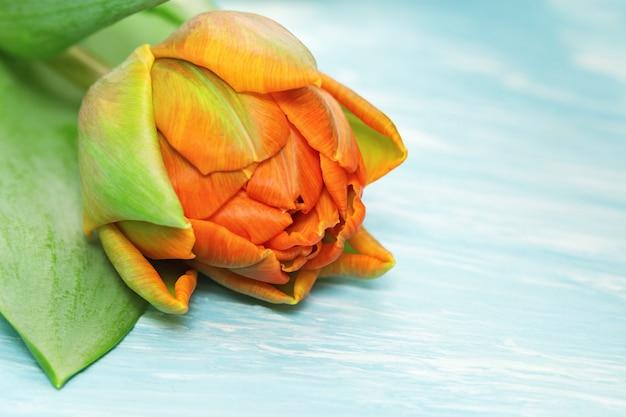 Floraison tulipe orange en gros plan sur un béton bleu