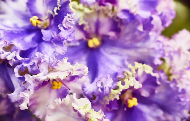 Floraison de violette africaine bleu-blanche. saintpaulia. mise au point sélective.