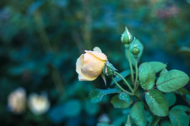 Floral fond, fleur rose dans le jardin se bouchent