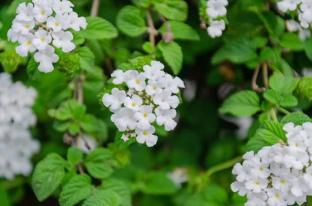 Flores blancs