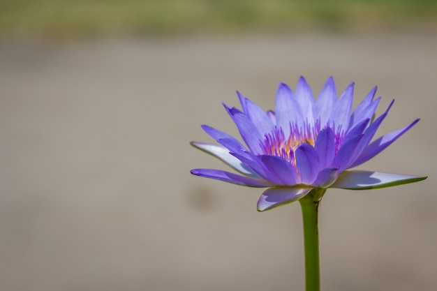 Flot de lotus violet sur le jardin de la rivière.