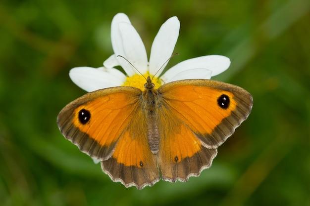 Flou artistique d'un beau papillon orange sur une fleur blanche dans un pré