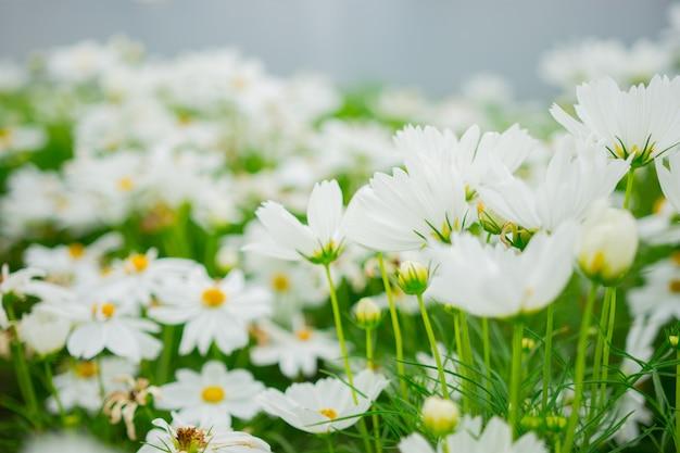 Flou artistique de belles fleurs blanches