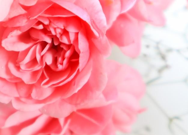 Flou artistique sur de belles roses roses sur fond blanc