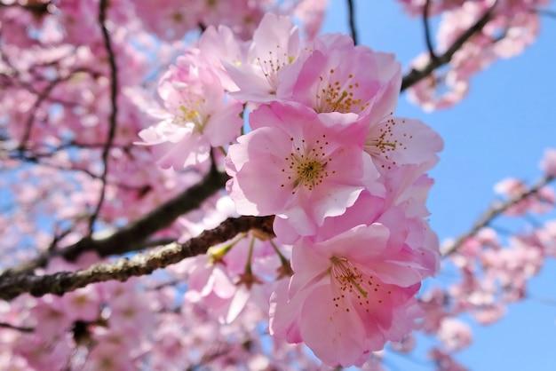 Flou artistique de fleur de cerisier ou de sakura sur fond de nature au printemps.