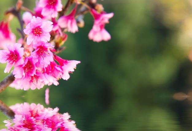 Flou artistique fleur de cerisier ou sakura