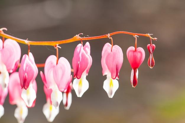 Flou artistique de la fleur rose et blanche en forme de cœur de cœur saignant en été