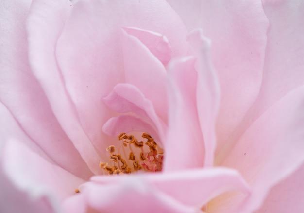 Flou artistique de rose rose