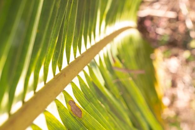 Flou un cocotier feuilles pour fond naturel