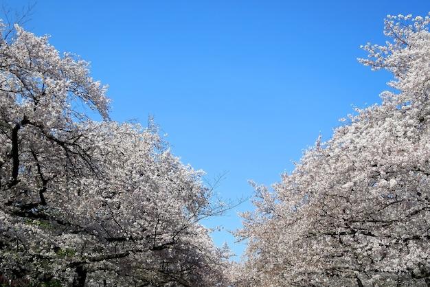 Flou de fleur de cerisier ou fleur de sakura, pleine floraison avec surface de ciel bleu clair au printemps au japon