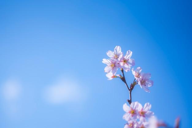 Flou fleur de cerisier ou sakura fleur sur fond de nature