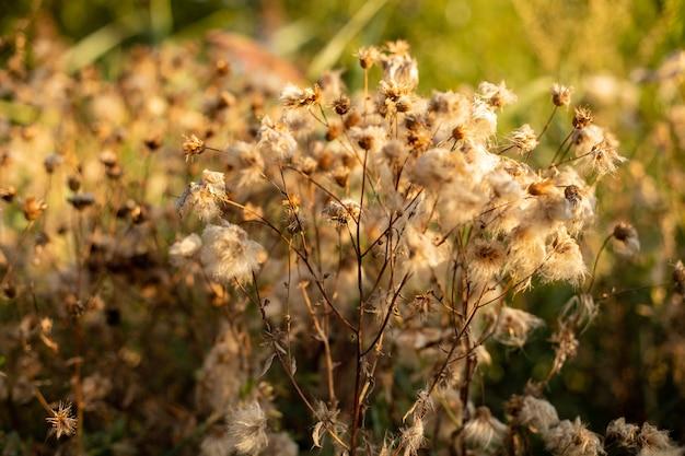 Flou flou d'une fleur séchée floue dans un champ