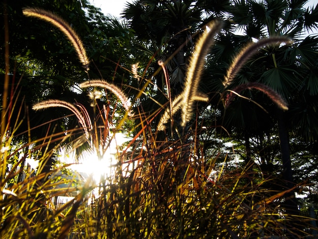 Flou d'image - hautes herbes contre la lumière du soleil au coucher du soleil le soir