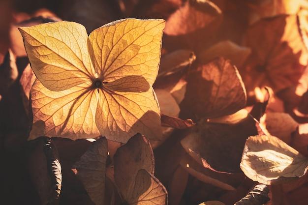 Flou sur pétale de fleur d'hortensia sec