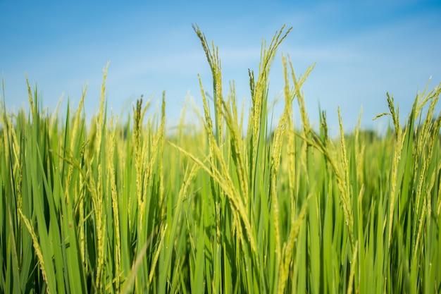 Flou des rizières en thaïlande