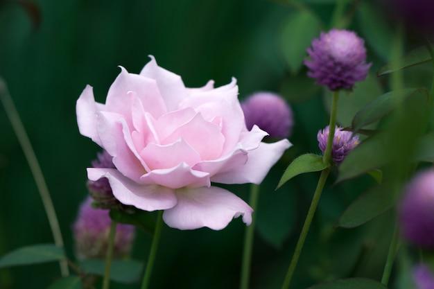 Flou de rose rose.