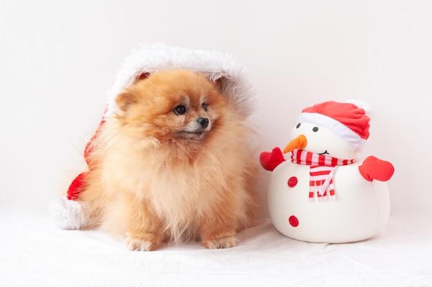 Fluffy pomeranian est assis dans un chapeau de père noël, à côté d'un bonhomme de neige