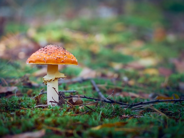 Fly agaric dans la forêt d'automne