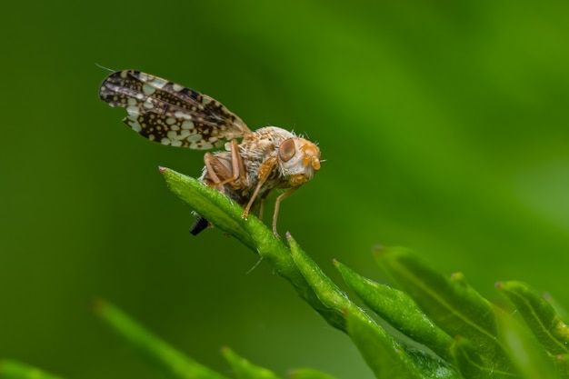 Fly (tephritis) assis sur une feuille