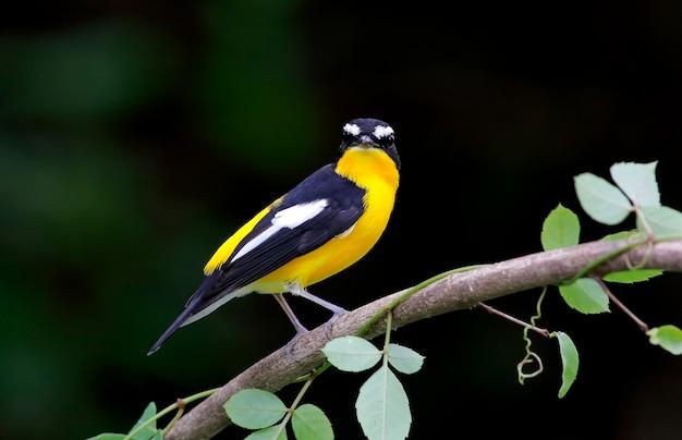 Flycatcher à crinière jaune ficedula zanthopygia beaux oiseaux mâles de thaïlande