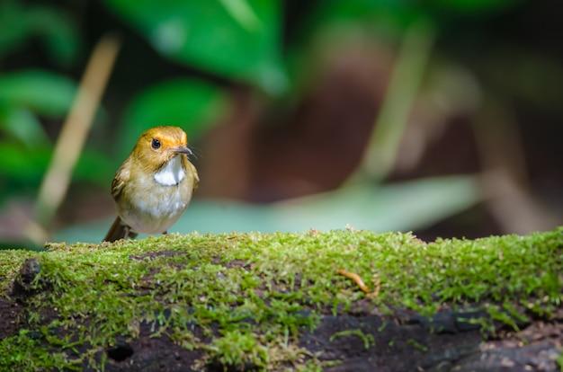 Flycatcher à sourcils roux (ficedula solitaris) perche sur branche