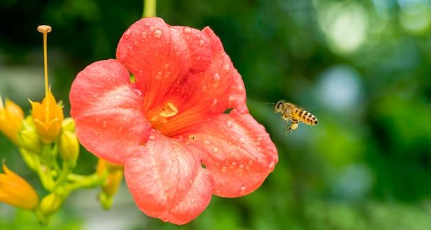 Flying honey bee collecte du pollen de fleur d'oranger avec la lumière du soleil du printemps