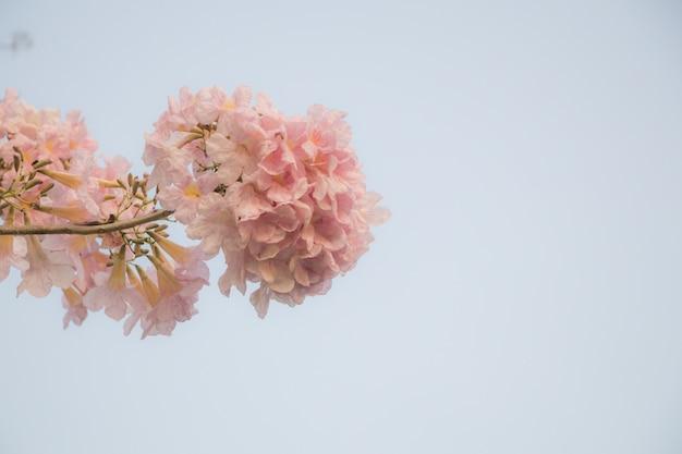 Focs sélectifs, belle fleur de tabebuia rosea en fleurs au printemps