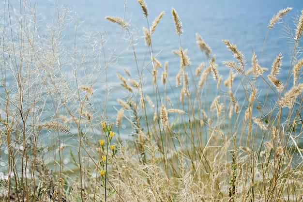 Focus herbe sèche, mer floue. nature, été, notion d'herbe.