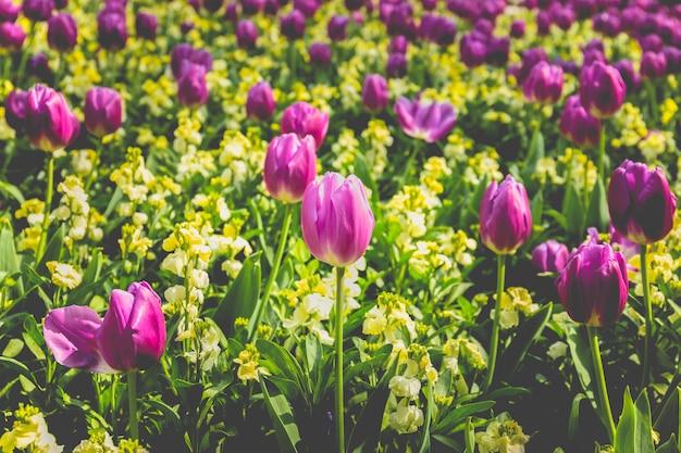 Focus sélectionné fleur de tulipe rose dans le jardin avec la lumière du soleil.