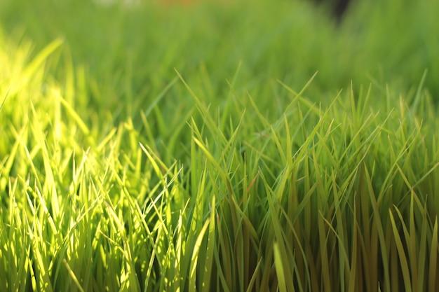 Fond agrandi de graines de riz
