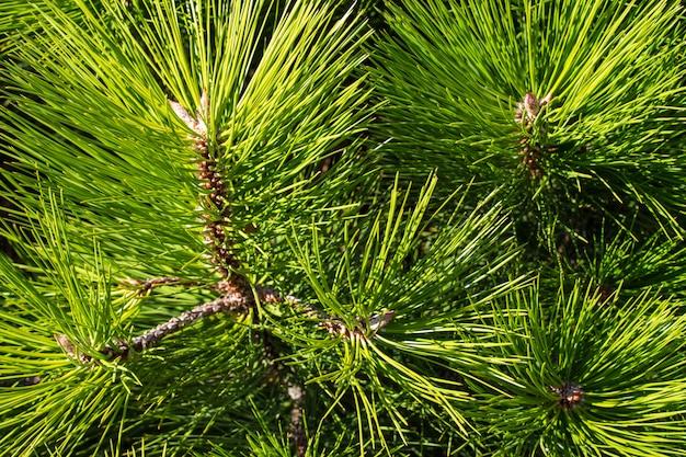 Fond avec des aiguilles de pin vert.