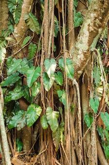 Fond de l'arbre de bodhi