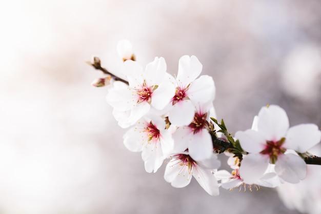 Fond d'arbre de fleurs d'amandier. cerisier à fleurs tendres. incroyable début de printemps. mise au point sélective. concept de fleurs.