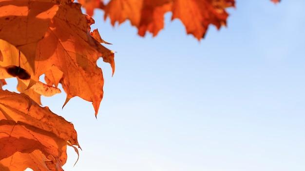 Fond d'automne. bannière avec feuillage orange contre un ciel bleu avec un espace pour le texte. copiez l'espace. mise au point sélective