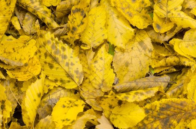 Fond d'automne ensoleillé. texture de feuilles d'automne belle colorée.