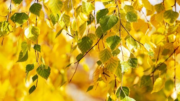 Fond d'automne avec des feuilles de bouleau colorées sur un arbre par temps ensoleillé