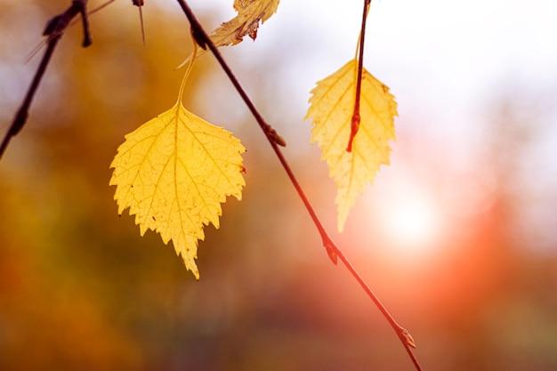 Fond d'automne avec des feuilles de bouleau colorées sur un arrière-plan flou