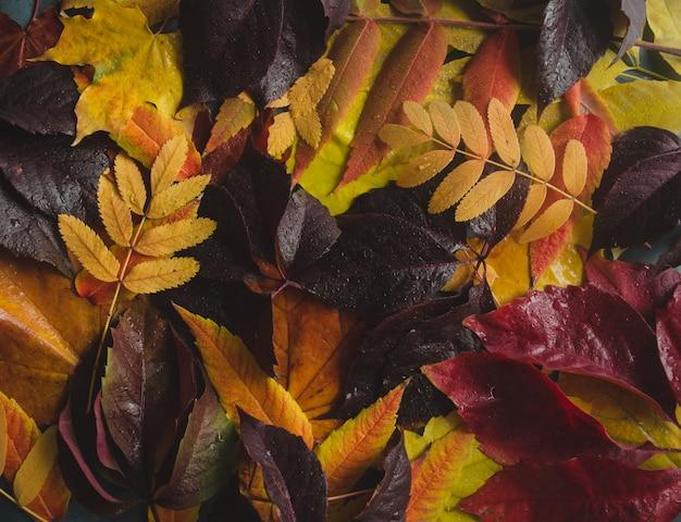 Fond d'automne avec des feuilles de bourgogne, rouge, jaune, orange. fond avec des feuilles d'automne humides.