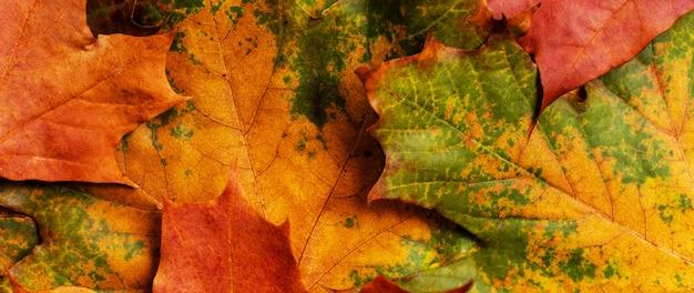 Fond d'automne avec des feuilles d'érable colorées.