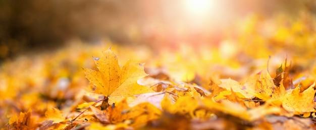 Fond d'automne. feuilles d'érable tombées au sol au soleil du soir, panorama