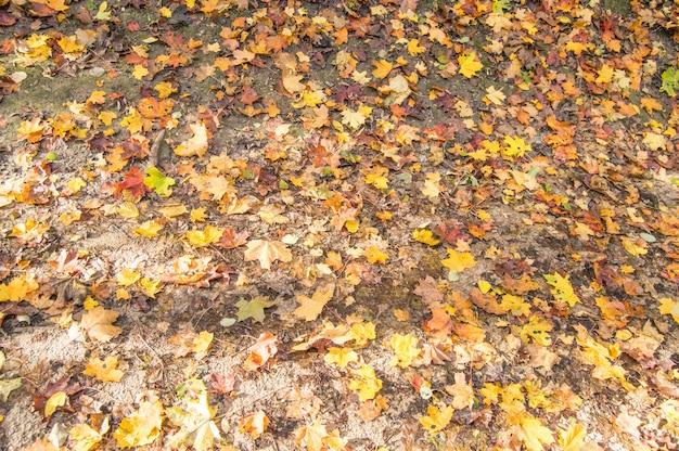 Fond d'automne avec des feuilles d'érable tombées de différentes couleurs, au sol dans le parc. vue de dessus.