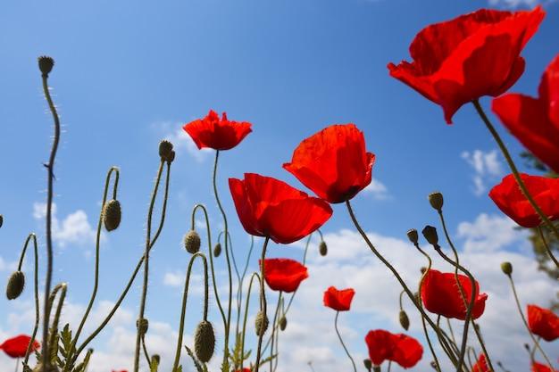 Fond de beau champ de pavot rouge contre un ciel bleu lumineux. provence, france. une affiche
