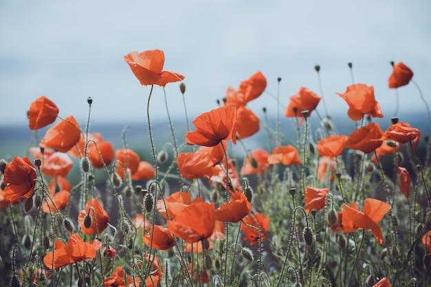 Fond de beau champ de pavot rouge. provence, france. une affiche