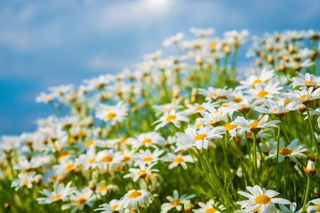 Fond de belle nature. fleurs de camomille sur ciel bleu le matin avec un soleil léger.