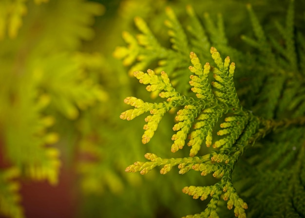 Fond de branche de thuya macro vert