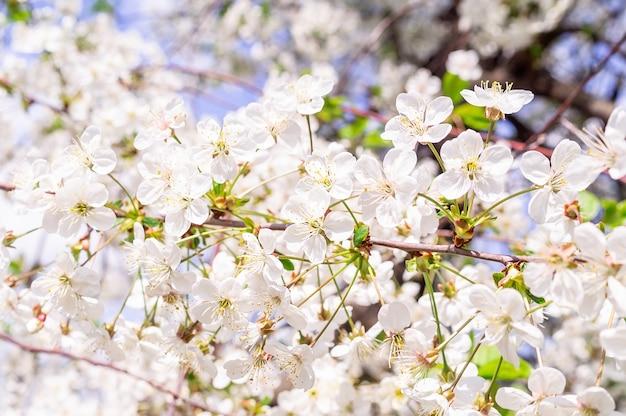 Fond de cerisiers en fleurs