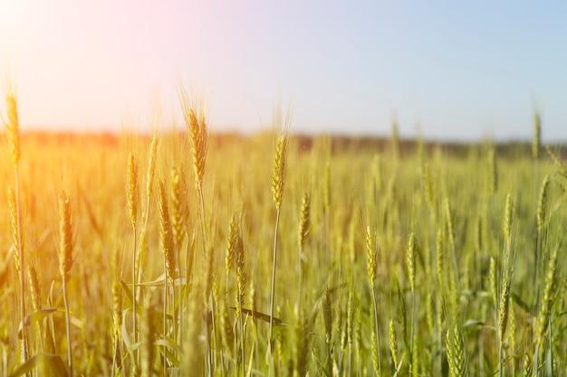 Fond de champ de blé. récolte de blé sur un champ ensoleillé d'été. agriculture, culture du seigle et culture bio eco food concept. photo de haute qualité
